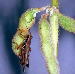 penyakit tanaman kedelai-copy-ent-iastate-edu.jpg