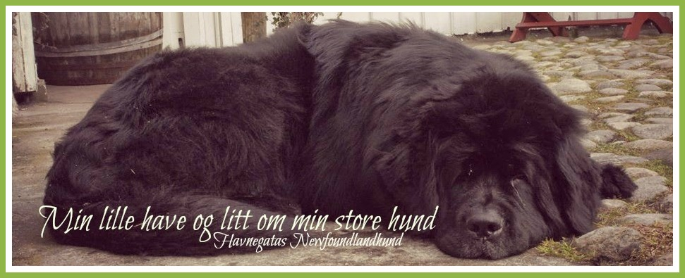 Min lille have og litt om min store hund ............................. Havnegatas Newfoundlandshund