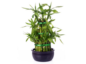 Top 4 fast growing plants for apartment garden 1 lucky bamboo plant