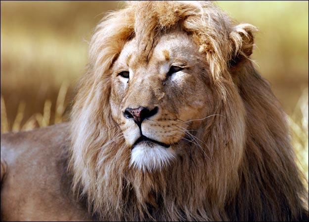About Wild Animals lion: Lion Habitat: Where Do Lions Live