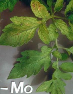 kurang-unsur-hara-molibdenum-mo-tanaman-pupuk-organik-supernasa