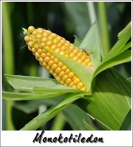 Pengelasan Tumbuhan Berbunga: Monokotiledon & Dikotiledon