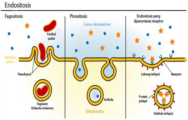 pinositosis dan fagositosis