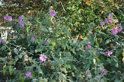 Lavatera family friendly plant