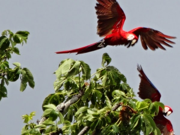 Scarlet Macaws Flying By Blue Osa in Costa Rica