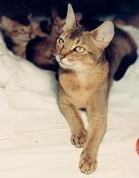 ruddy abyssinian cat for sale - Tawny - Usual