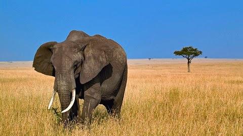 O elefante é o único animal com quatro joelhos.