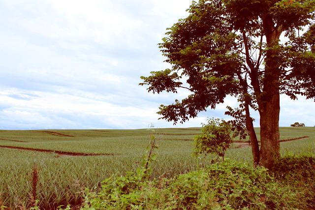Pineapple Fields at Dole Phils Polomolok