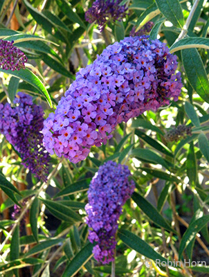 Butterfly Bush Purple Flowers