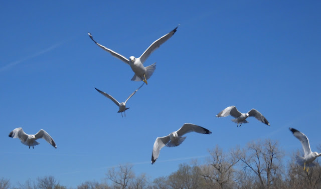 Birds in flight over Sunset Bay, White Rock Lake, Dallas, Texas