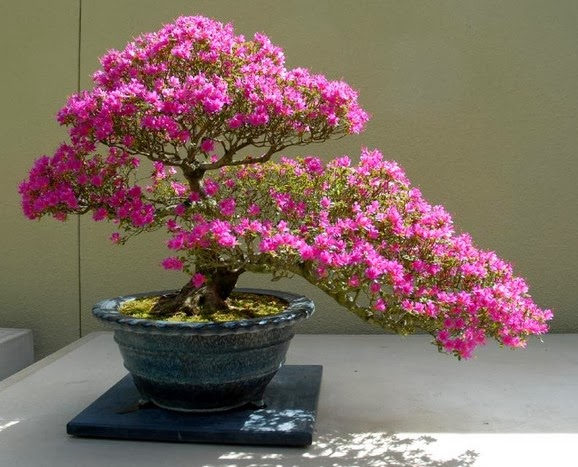 Tips Merawat Bonsai Bunga Bougenville Ungu