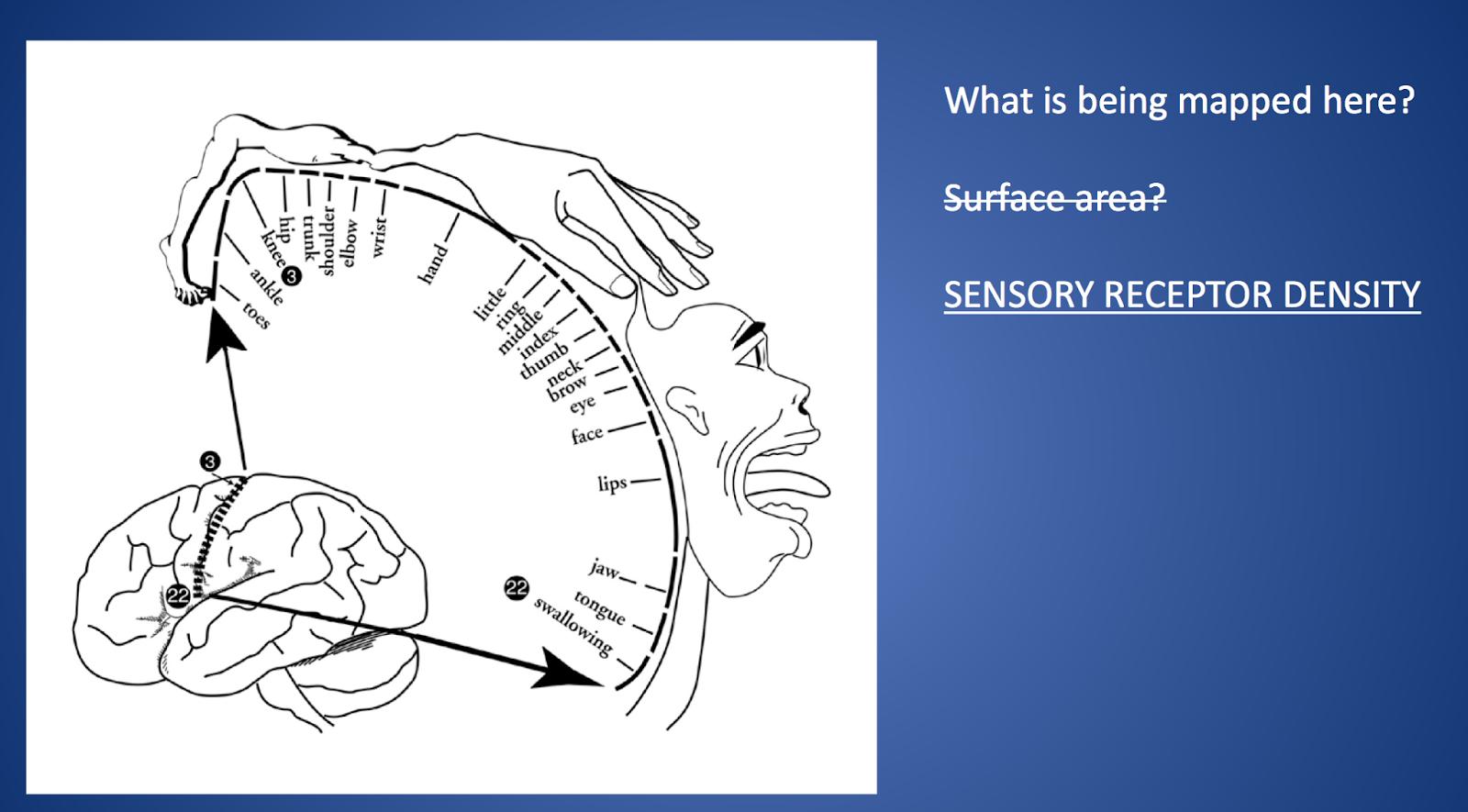 Teaching High School Psychology Motor And Sensory Cortex Activities