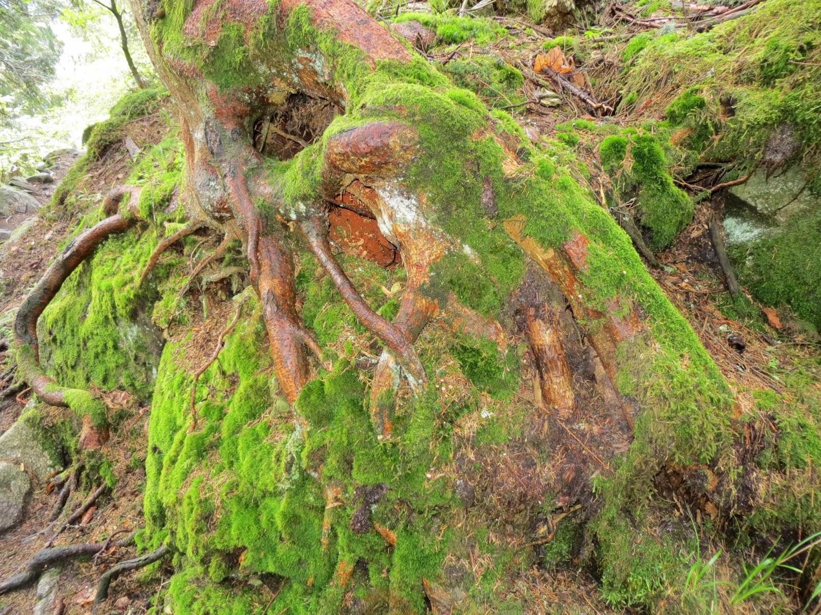 La rimaye l 39 amour des montagnes la boucle de sondernach le sentier des roches 7 9 juin 2013 - Mousse sur les arbres ...