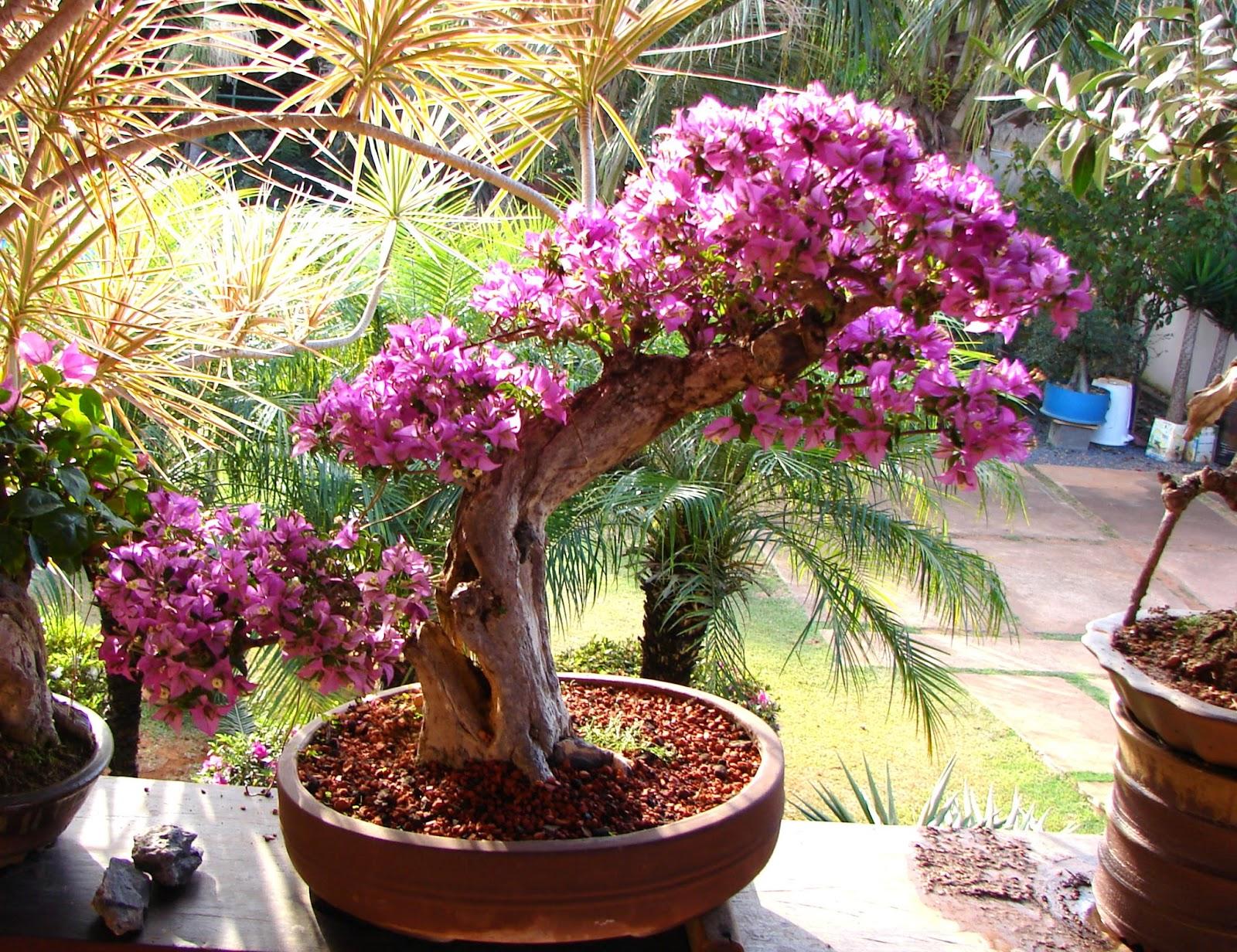 cultivo rosas jardim:Jardim da Terra: COMO CULTIVAR: Bougainville em vasos