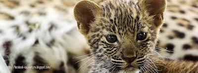 Couverture facebook leopard bébé
