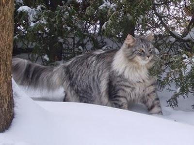 Sohopl Hodowla Kotów Syberyjskich I Neva Masquerade O Rasie