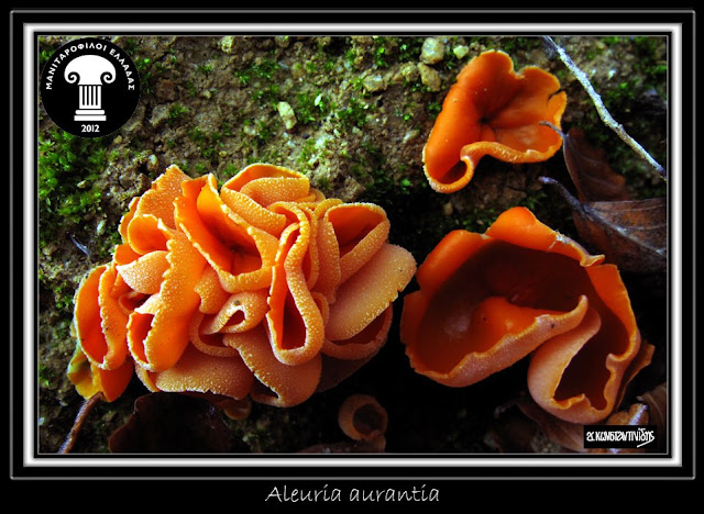 Aleuria aurantia (Pers.) Fuckel