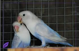 Jual Love Bird Harga Love Bird Burung Love Bird Mei 2013