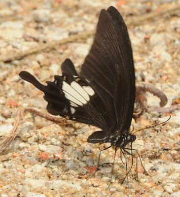 Blue Helen (Papilio prexaspes prexaspes)