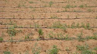 Plantation Of Stevia