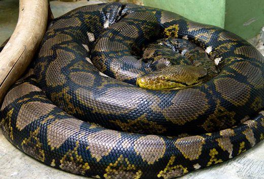 World's Biggest Snake