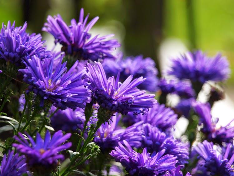 Blå blomster er gode blomster til efterårshaven