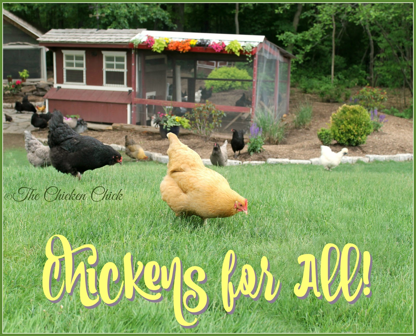 the chicken flock focus friday 10 23 15 victory