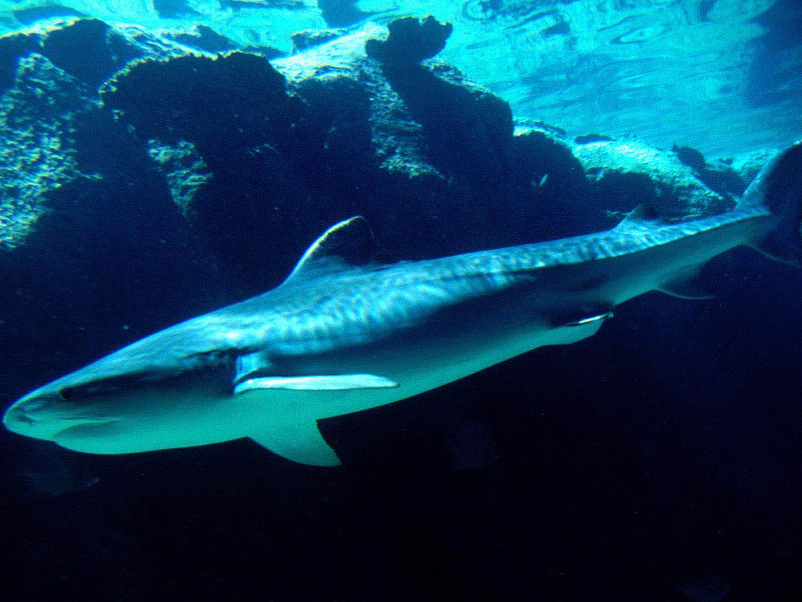 get shark wallpaper - photo #22