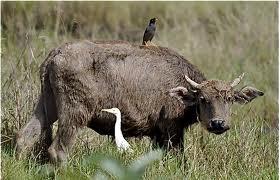 sapi dan burung jalak
