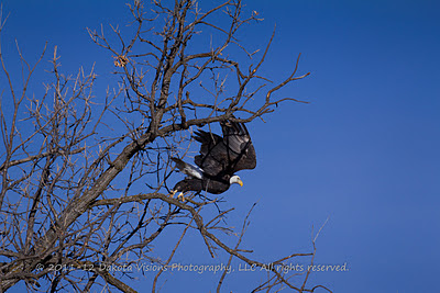 American Bald Eagle Taking Flight Bird Photography Tips by Dakota Visions Photography LLC