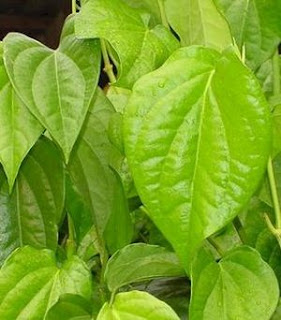 daun sirih hijau