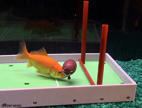 goldfish play