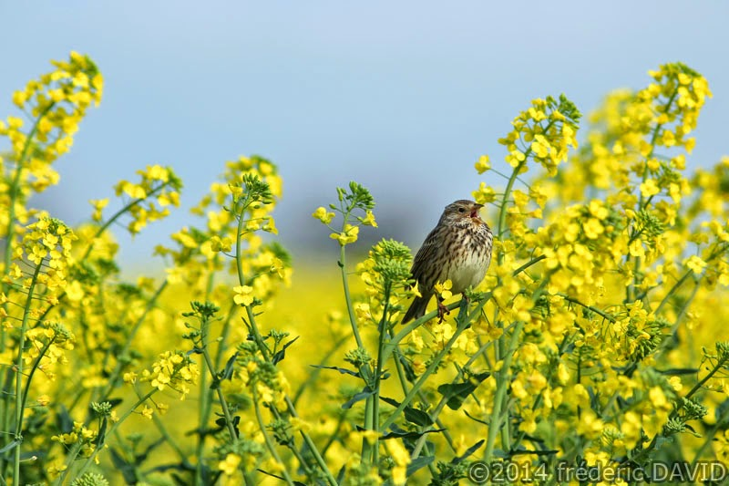 printemps campagne champ colza animaux oiseau bruant proyer Seine-et-Marne