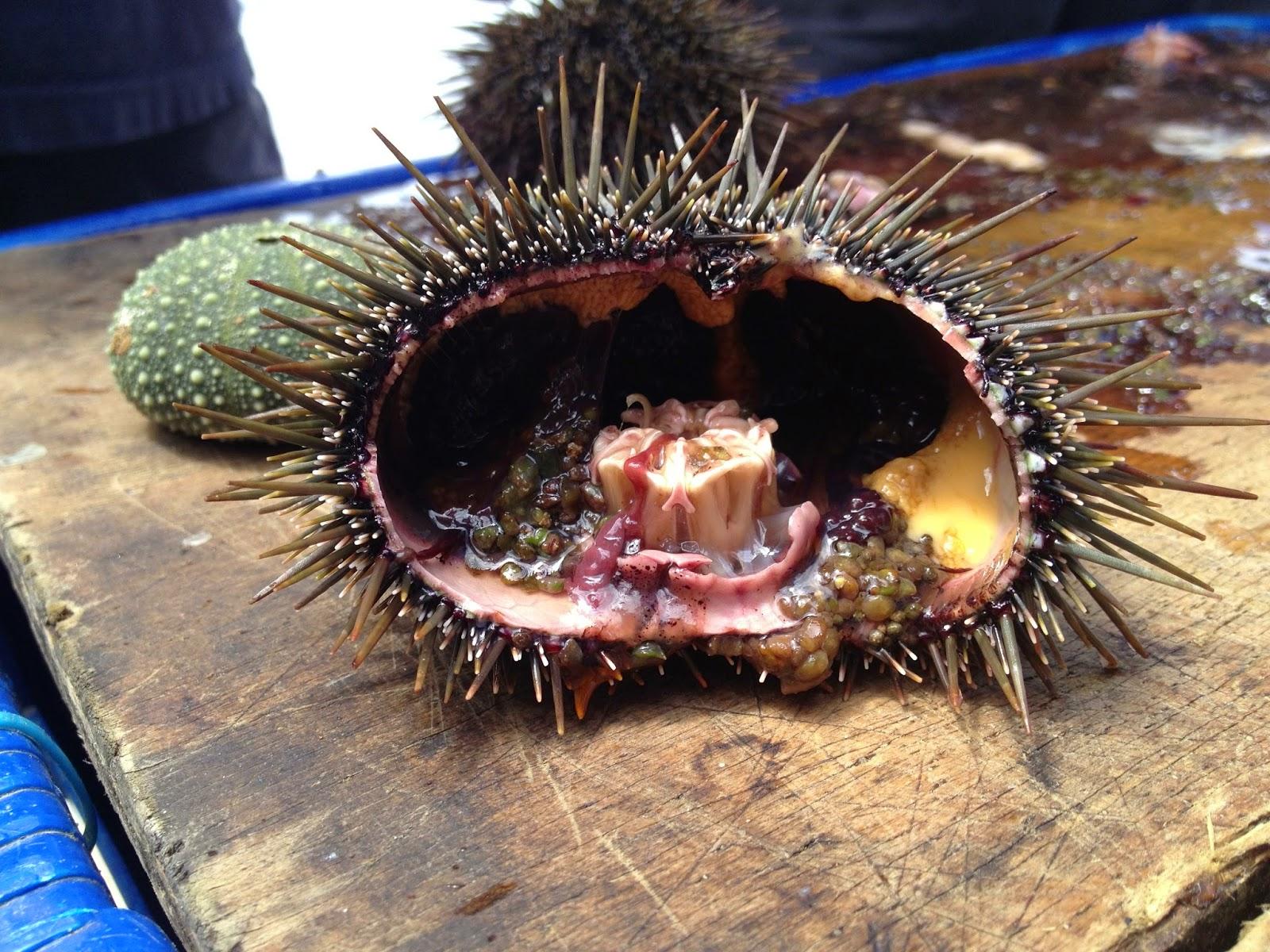 Sea urchin kina