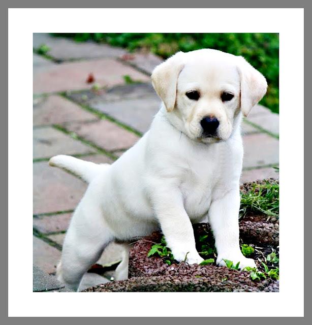 Image de chien labrador a imprimer - Chiot a colorier ...