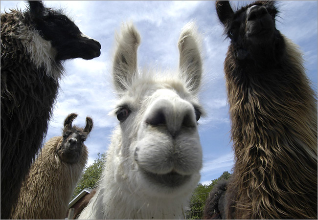 Hilarious Llama Pictures funny animals: Funny l...