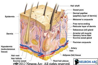 Skin Structure – Skin Anatomy
