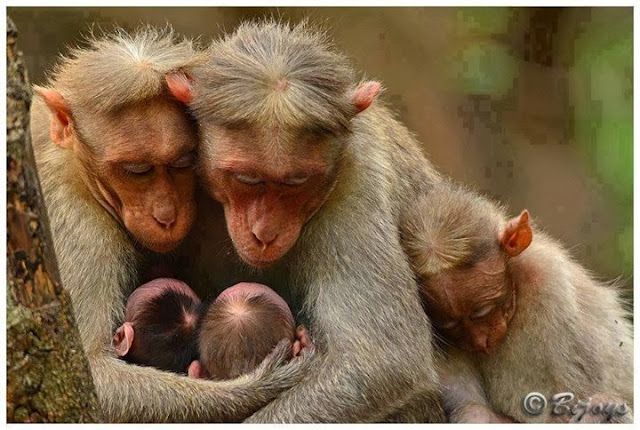 amazing monkey family caught on cam,funniest monkey pics,monkey baby with mom photos,funniest animals caught on cam
