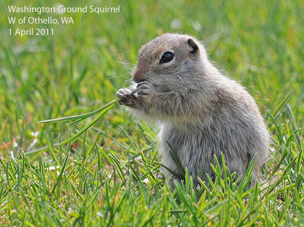 northwest nature notes spring is the time for ground squirrels
