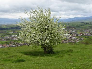Măr sălbatic singuratic în veștmântul primăverii