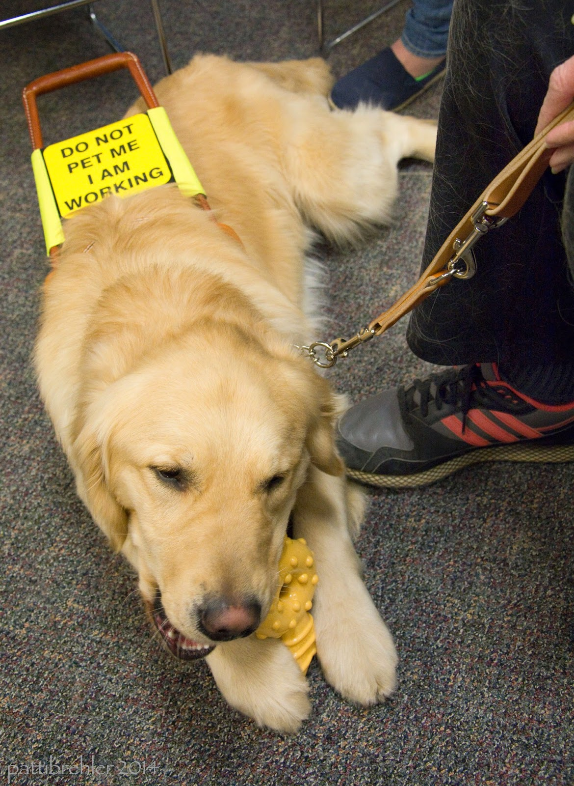 "A close shot of the golden retriever lying on the carpeted floor. His head is toward the camera and he is busy chewing a Nylabone, which he is holding between his front paws. His leash is held by the woman's hand, she is out of view except for her right leg and foot just touching the dog's side. You can read the yellow sign on the handle of the harness. It says ""Do not pet me I am working."""
