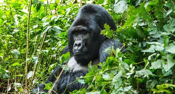 Uganda, Rwanda Tourism and Travel Info Guide, News: Comparing Gorilla Trekking Tours In 2015 : Uganda Vs Rwanda – Compare prices, tracking experience, hardness,etc: