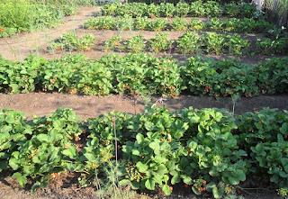 2.07. Клубника наращивает плодоношение и приближается к пику урожайности!