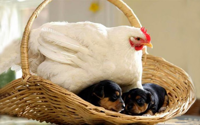 #13 Mabel The Chicken And The Puppies - Unusual Animal Friendships That Are Absolutely Adorable!