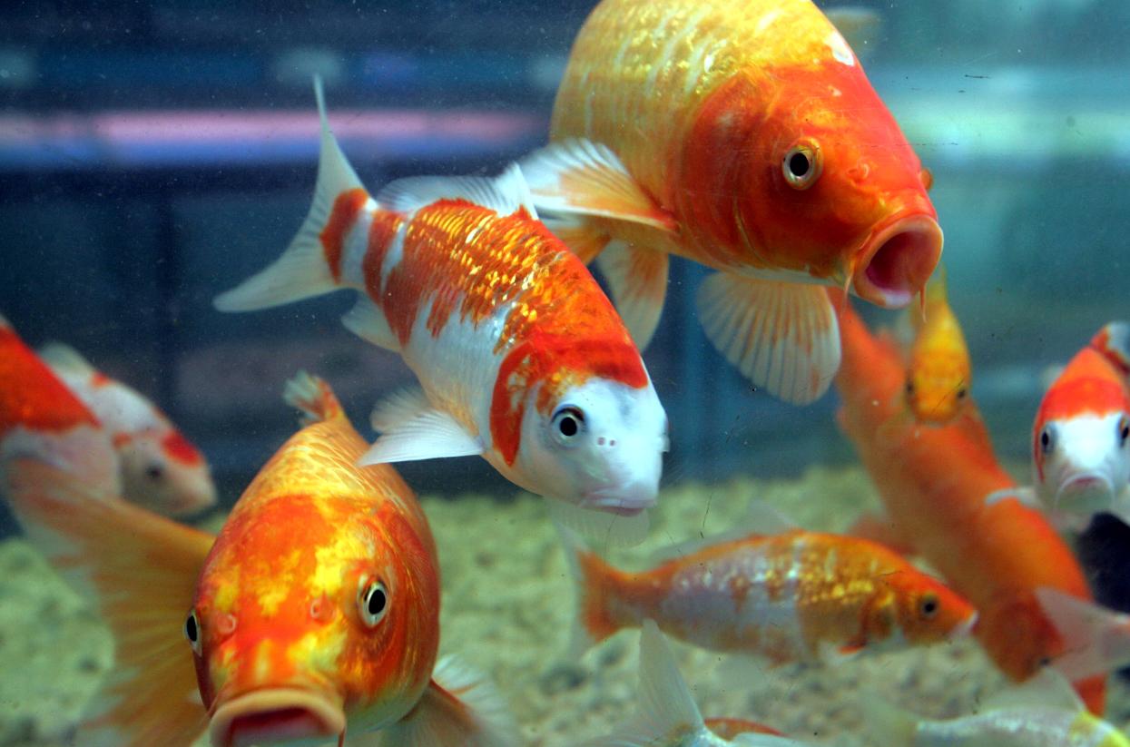 Peixes ornamentais brasileiros carpas ornamentais for Como criar carpas en estanques
