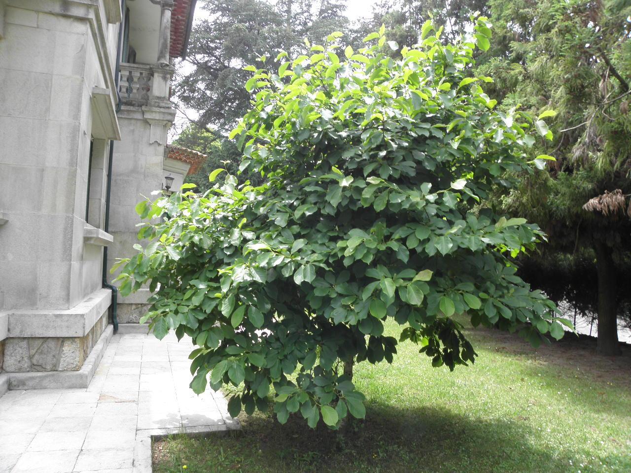 Carlitos estuvo aqui 3 poda magnolio x - Poda del laurel ...