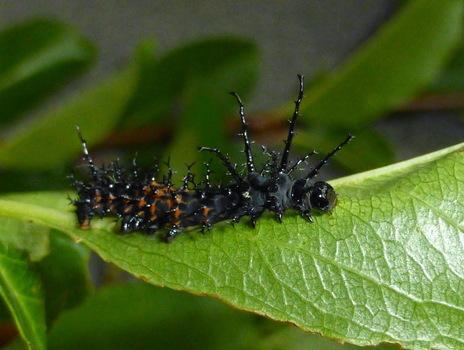 Citheronia splendens sinaloensis
