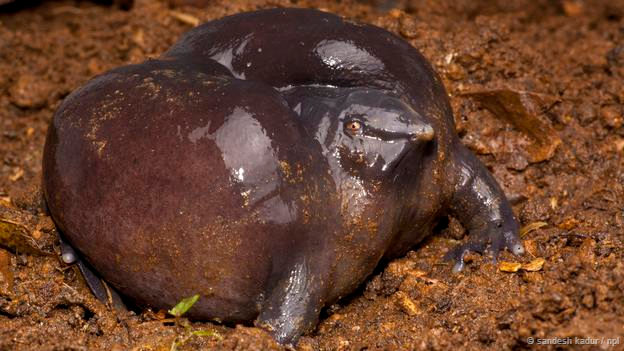 Purple pig-nose frog, Nasikabatrachus sahyadrensis