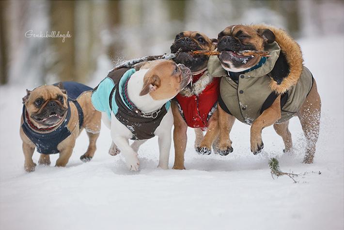 Französische Bulldoggen im Schnee