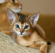 Things to know about Abyssinian Cats!